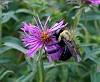 -bumblebee-aster-1.jpg