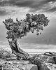 -utah-juniper-juniperus-osteosperma-1-1-2.jpg