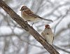-twin-sparrows.jpg