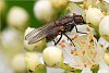 -common-fly.jpg