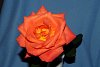 -our-last-rose-summer.jpg