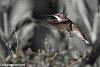 -ruby-throated-hummingbird-1-1-3.jpg