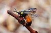 -melaleuca-sawfly.jpg