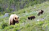-waterton-mom-cubs-9361.jpg