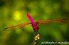 -dragonfly1a.jpg-1.jpg