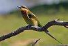 -bee-eater.jpg