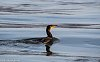 -swimming-cormorant.jpg