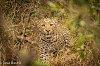 -best-2016-kruger-leopard-d-mortimer.jpg