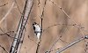 -downy-woodpecker.jpg