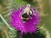 -european-bumble-bee_nw-tasmania_pentax.jpg