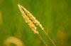 -various-grasses-2.jpg