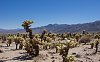 -joshua-tree-chola-reaching-distant-mountains-10.16.jpg