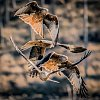 -red-kite-quartet.jpg