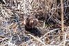 Beaver-beaver-roar.jpg