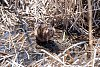 -beaver-roar.jpg