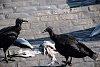 -vulture-feast.jpg