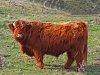 -scottish-highland-cattle_pf.jpg