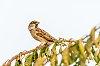 -sparrow.jpg