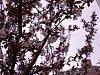 -peach-blossoms-2.jpg