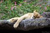 -lion-one.jpg