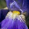 -iris-plastic-macro-1.jpg