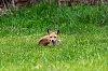 -old-fox.jpg