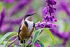 -eastern-spinebill-1.jpg