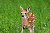 -deer-fawn-2017.jpg