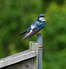 -bluebird-2.jpg