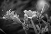 -flowers-simple-black-white.jpg