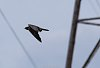-peregrine-falcon-flyby.jpg