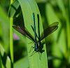 -blue-green-fly.jpg
