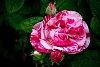 -rose.jpg