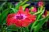 -hibiscus-7-2-.jpg