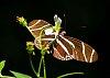 -butterfly-sep-3-2013a.jpg