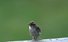 -chipping-sparrow-rail.jpg