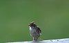 -chipping-sparrow-rail.jpg