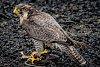 -falcon.jpg