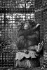 -chimpanzee-v2-0817.jpg