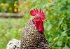 -chicken1anfb.jpg