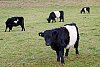 -belted-galloway-cattle_pf.jpg