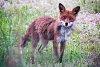 -final_fox_2.jpg