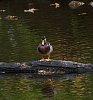 -mr.-fat-duck.jpg
