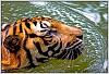 -tiger1.jpg