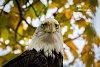 -eagle1-anfb.jpg