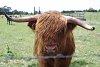 -cow1.jpg