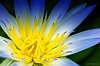 -water-lily-1.jpg
