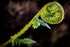 -fern-fiddlehead.jpg