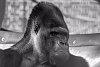 -gorilla.jpg