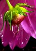 -water-drop-flower-bud.jpg